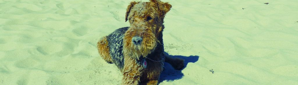 Hund Welch Terrier Name Sammy Therapiehund im Hause Stepout